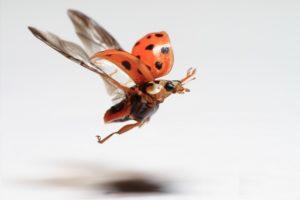 Fliegender Käfer mit Phasetrigger fotografiert
